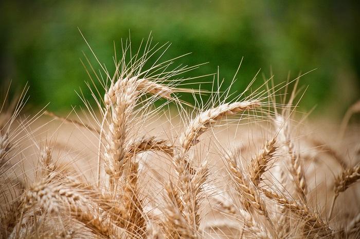 Pšenica je nenáročná plodina